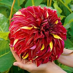 Dahlia Bulbs (Dinnerplate) - Bohemian Spartacus | Dahlia Tubers | Eden Brothers Room With Plants, Large Plants, Buy Flowers, Spring Flowers, Spring Flowering Bulbs, Garden Planning, Bellisima, Red Roses, Beautiful Flowers