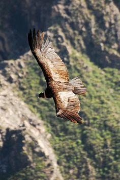 Peru, Colca Canyon, home of the Andean Condors-8 http://incatrail.info #incatrail #machupicchu #peru