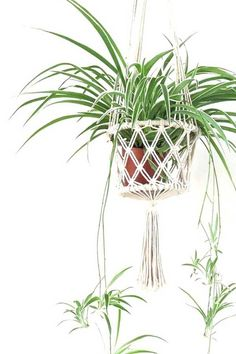 3 Ways to Propagate your Spider Plant Babies Has your Spider Plant started growing long stems with Spider Plant babies attached. How to propagate and grow your spiderettes into full new plants. 3 Ways to Propagate your Spider Plant Babies Hanging Plants Outdoor, Patio Plants, Indoor Plants, Outdoor Decor, Indoor Gardening Supplies, Container Gardening, Spider Plant Babies, Chlorophytum, Spider Plants