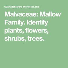 Malvaceae: Mallow Family. Identify plants, flowers, shrubs, trees.