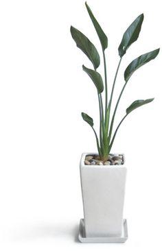 Strelitzia(ストレチア・レギネ ストレリチア・レギネー/観葉植物)
