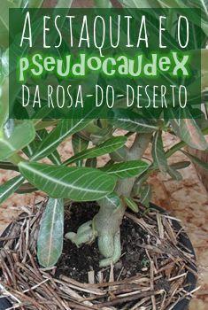 A estaquia e o pseudocaudex da rosa-do-deserto. Veja dicas de como desenvolver o…