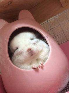 Lovely sleeping Chinchilla ❤
