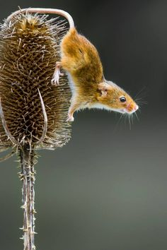 Field mouse about to jump by Bruce Nisbet