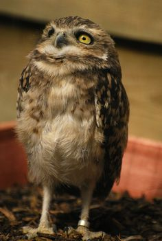 Burrowing Owl. Photo by quaddie