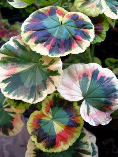 geranium, this variegated geranium looks so great in a mixed pot. It is not for the flower though it is an added feature. Pick up the tones that you see in the leaf.