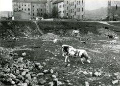 Pastvina v Nuslích v roce 1931 Old Paintings, More Pictures, Czech Republic, Vintage Images, Prague, Black And White, Places, Dogs, Prints