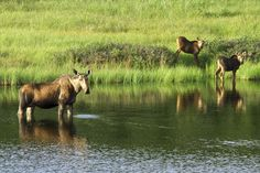 Moose Cow and Calves, Denali National Park and Preserve, Alaska (pinned by haw-creek.com)