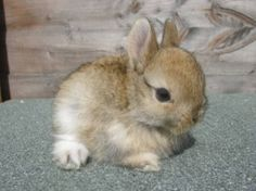 Still ill tho Netherlands dwarf rabbit Cute Baby Bunnies, Funny Bunnies, Cute Babies, Cutest Bunnies, Tiny Bunny, Dwarf Bunnies, Bunny Rabbits, Dwarf Rabbit, Tier Fotos