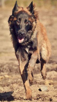 Download Cuby Chubby Adorable Dog - 77b2964f43d1347a2fca676911c955fe--tervueren-belgian-tervuren  Pictures_336733  .jpg