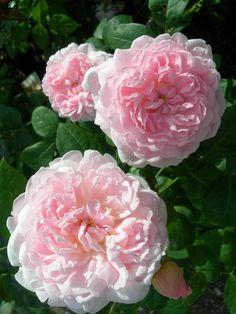 'Eglantyne' | Shrub. English Rose Collection. Production 1994 United Kingdom David Austin