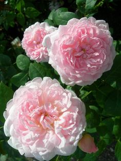 'Eglantyne' | Shrub. English Rose Collection. Production 1994 United Kingdom David Austin
