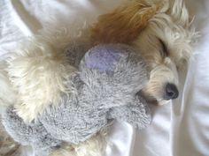 My sleeping Cavapoo puppy - mwah!