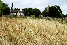 Rye field in the herb garden  Photo: Vajda Emese