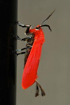 Male Scarlet Phaudid Moth (Phauda mimica, Phaudinae, Zygaenidae)