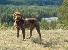 French wire haired Korthals Pointing Griffon dog breed information with pictures. Description of French wire haired Korthals Pointing Griffon. Interesting facts and breed history.