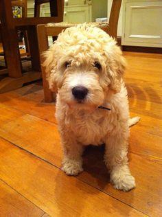 Spanish Water Dog puppy, 1 1/2 Months old
