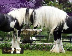 Horse / gypsy-vanner pair