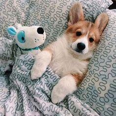 Cute Dogs And Puppies Corgi Cute Corgi, Corgi Dog, Dog Cat, Pet Dogs, Wiener Dogs, Cute Funny Animals, Cute Baby Animals, Animals And Pets, Funny Dogs