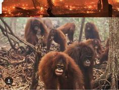 Orangutans and so many other of our other animal siblings are suffering due the raging fires in Indonesia. Rescue workers are working to save thier lives with limited resources. We have set up this gofundme account to help the rescue workers purchase much needed supplies. Please consider donating...