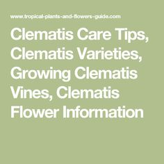 Clematis Care Tips, Clematis Varieties, Growing Clematis Vines, Clematis Flower Information Clematis Care, Clematis Flower, Love Flowers, Beautiful Flowers, Clematis Paniculata, Clematis Varieties, Garden Landscaping, Landscaping Ideas, Tropical Plants