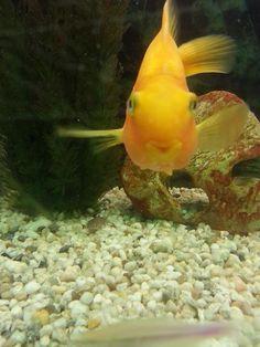 Parrot fish Ashley