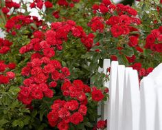 Roses and a picket fence