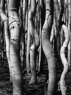 Trees, 1972 ~ Brett Weston