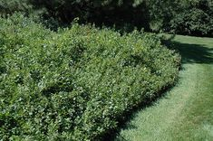 Click to view full-size photo of Gro-Low Fragrant Sumac (Rhus aromatica 'Gro-Low') at Bachman's Landscaping