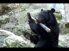 Funny Animal カンフー熊クラウドくん、カープ栗原選手のバットを激しく回す