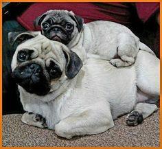 It's the rare humpback Pug!    www.jointhepugs.com   #pugpower #puglover #pugsnotdrugs #pugchat #cuteness #pug #pugs #fawnpugs