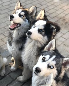 Wonderful All About The Siberian Husky Ideas. Prodigious All About The Siberian Husky Ideas. The Animals, Cute Baby Animals, Funny Animals, Malamute Husky, Husky Puppy, Cute Puppies, Cute Dogs, Dogs And Puppies, Doggies