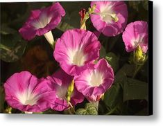 Good Morning, Glory Canvas Print / Canvas Art by Sheila Brown Good Morning For Him, Good Morning Funny, Good Morning Sunshine, Good Morning Images, Good Morning Quotes, Early Morning, Morning Glory Vine, Morning Glories, Beauty Blender Case