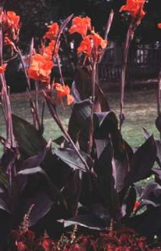 GARDEN CANNA (Canna x generalis): yellow, red, pink, salmon flowers; blooms in summer; drought resistant; 2 to 4 feet.