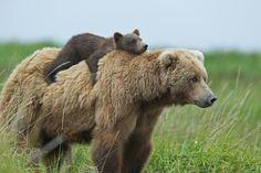 IMG_0890.JPG by David Silverman - Photo 137280463 - 500px Alaska. A new meaning for bareback riding. Make that bear-back!