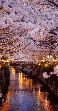 I don't really feel the need to do Paris again but this would be beautiful to see in person. Cherry blossoms in Paris. Places Around The World, Oh The Places You'll Go, Places To Travel, Around The Worlds, Travel Destinations, What A Wonderful World, Beautiful World, Beautiful Places, Beautiful Pictures