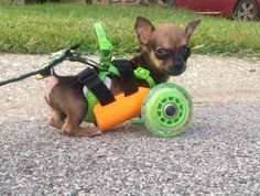 Adorable Two Legged Chihuahua Gets 3D Printed Wheelchair