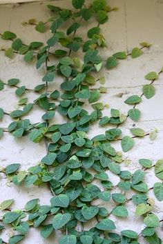 Creeping Fig Vine. Might be good outside the kitchen splash back window for greenery. Or boston ivy?