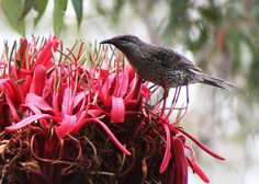 Gymea Lily with Wattle Bird.
