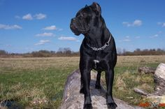 Cane Corso fotos de cães episódicas