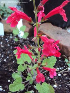 Full size picture of Cedar Sage, Roemer's Sage (<i>Salvia roemeriana</i>)