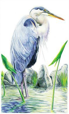 This bird was located at the Blue Grass Creek FWA in Warrick County, Indiana. Watercolor Bird, Watercolor Paintings, Bird Paintings, Indian Paintings, Watercolor Portraits, Watercolor Landscape, Abstract Paintings, Watercolors, Bird Pictures