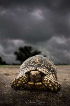 TORTOISE: A land bound Earth symbol, feels at home where ever it may go, will go into its shell when scared, non-violent self-preservation, ancient wisdom,  feminine energy, changes in climate can affect disposition and a stable environment is needed, a time for you to receive mystical wisdom