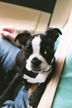 Boston Terrier puppy love