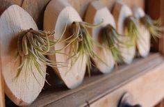 Big NI's Pocket: [設計]姿態各異的美麗植物-空氣鳳梨 Air Plant
