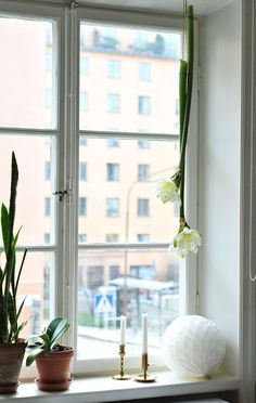 Amaryllis i fönstret (Hemtrender) – Husligheter.se