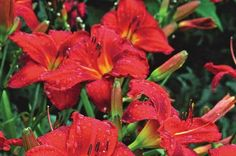 Top 10 Red Flowers to Attract Hummingbirds from Birds & Blooms Magazine