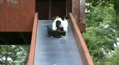 Hihetetlen yacht - Toochee Panda Bear, Dogs, Animals, Animales, Animaux, Pet Dogs, Panda, Doggies, Animal