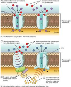 Communication Between Neurons – Anatomy and Physiology Neuromuscular Junction, Substance P, Dopamine Receptor, Dimensional Shapes, Human Anatomy And Physiology, Cell Membrane, Neurotransmitters, Neuroscience