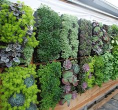 Consider growing a vertical vegetable garden. The key word in a vertical vegetable garden to associate with your average garden is vertical. Vertical Vegetable Gardens, Vertical Succulent Gardens, Succulent Wall, Succulents Garden, Vegetable Gardening, Garden Planters, Black Succulents, Vertical Planter, Succulent Gardening